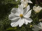 Flower White  - 126 Albacore Ln, Foster City 94404