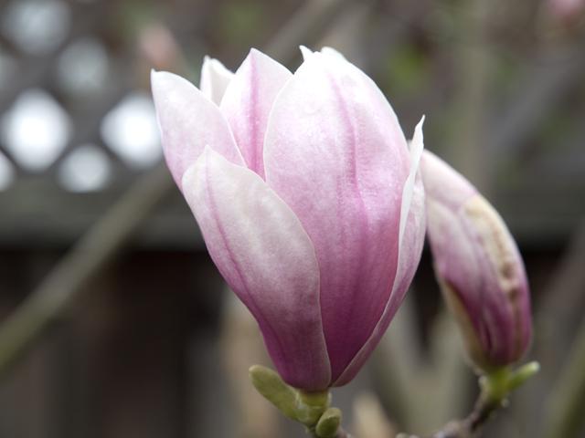 Magnolia  - 871 Sycamore Dr