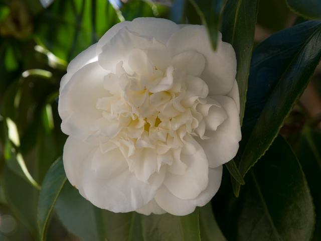 Camillia White