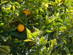 605 W Hillsdale Blvd, San Mateo 94403 - Orange Tree