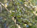 605 W Hillsdale Blvd, San Mateo 94403 - Tree Blossom