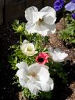 605 W Hillsdale Blvd, San Mateo 94403 - White Poppy