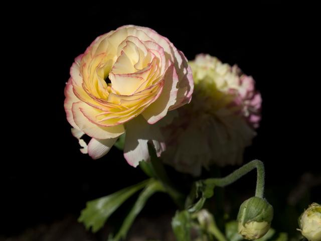 Y Ranunculus